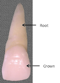 rootcrowntooth